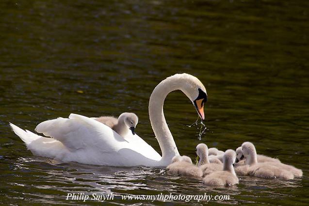 002 swans