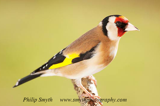 003 Goldfinch