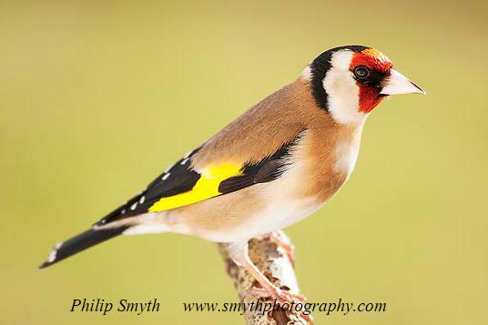 003 Goldfinch